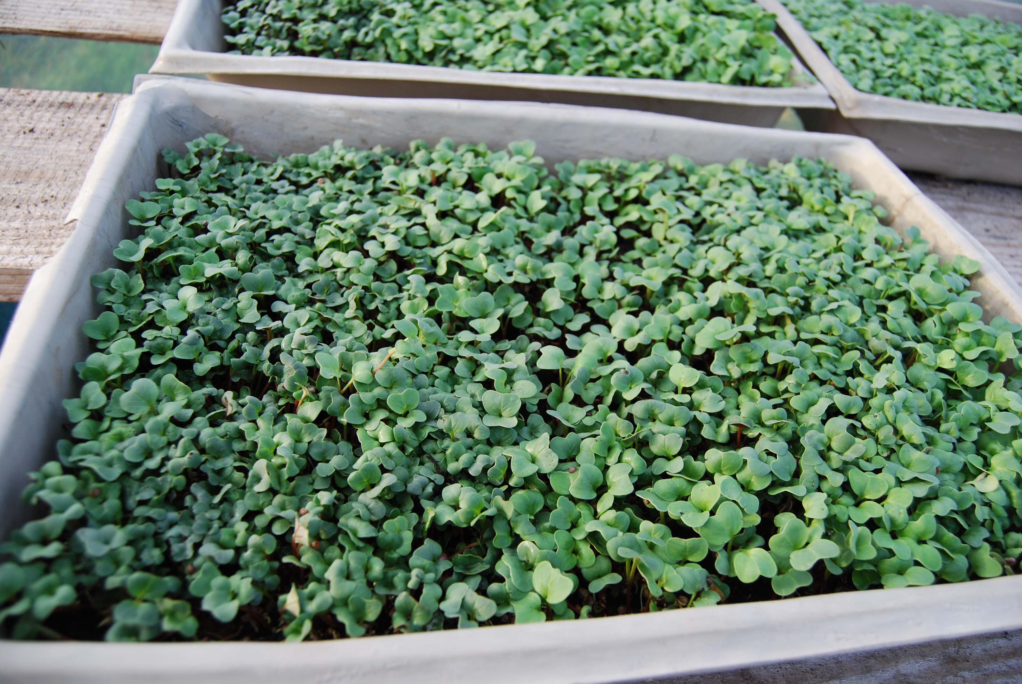 Healthy Organic Microgreens 12221380166