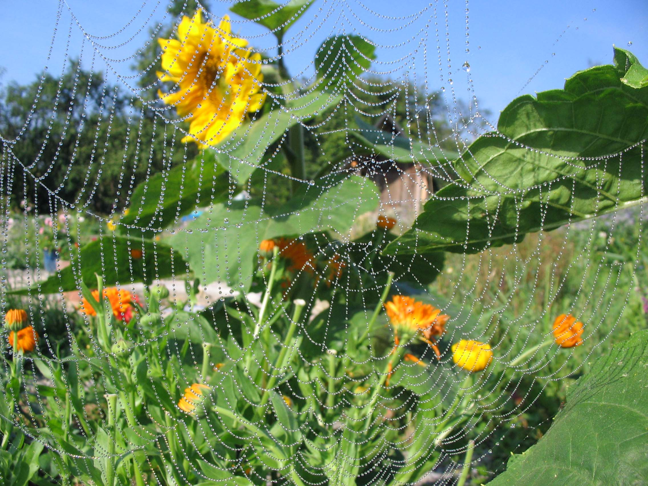 Sunflower web 12221703474
